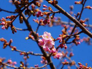 林試の森公園の河津桜