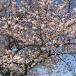 【イベント】川崎店:3月31日(日) ゆるポタ お花見ライド