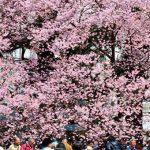 """【イベント】4/1(日)成城 のんびりポタリングは""""お花見ライド""""です!"""
